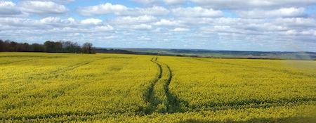 campi gialli dello yorkshire